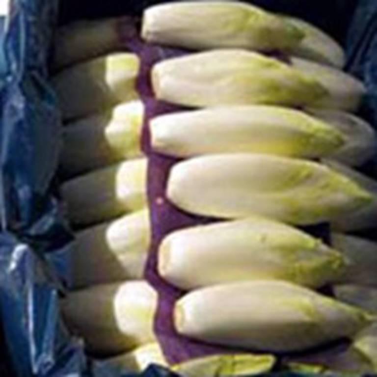 Belgium Chicory